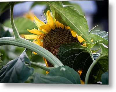 Metal Print featuring the photograph Shy Sunflower by Wayne Meyer