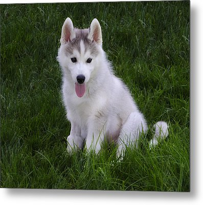 Siberian Huskie Pup Metal Print by Bill Cannon