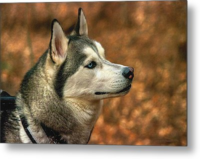 Metal Print featuring the photograph Siberian Husky by Dennis Baswell