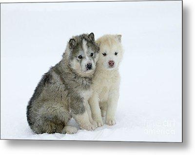 Siberian Husky Puppies Metal Print