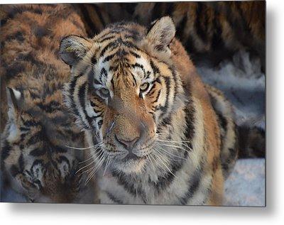 Siberian Tiger Metal Print by Brett Geyer