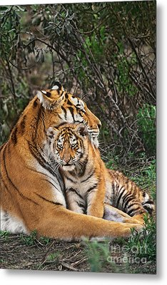 Siberian Tiger Mother And Cub Endangered Species Wildlife Rescue Metal Print