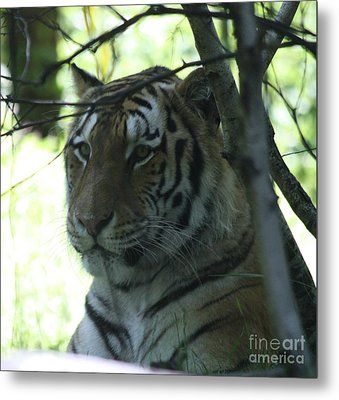 Siberian Tiger Profile Metal Print by John Telfer