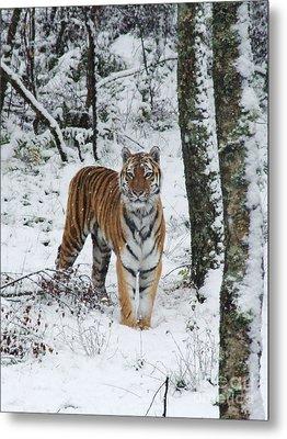 Siberian Tiger - Snow Wood Metal Print