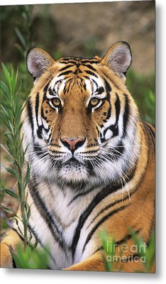 Siberian Tiger Staring Endangered Species Wildlife Rescue Metal Print