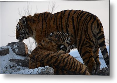 Siberian Tigers Metal Print by Brett Geyer