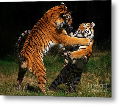 Metal Print featuring the photograph Siberian Tigers In Fight by Nick  Biemans
