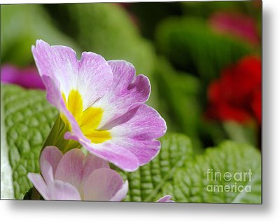 Side View Of A Spring Pansy Metal Print by Jeff Swan