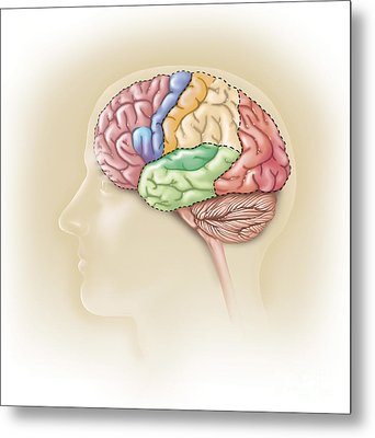 Side View Of The Human Head Showing Metal Print by TriFocal Communications