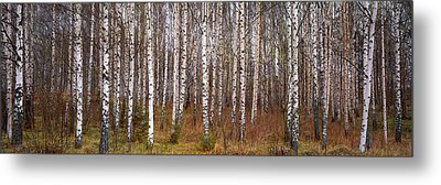 Silver Birch Trees In A Forest, Narke Metal Print by Panoramic Images