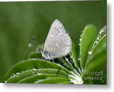 Silver Butterfly Metal Print by Alana Ranney
