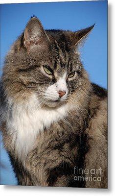 Silver Tabby Cat Metal Print