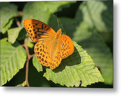 Metal Print featuring the photograph Silver-washed Fritillary  - Male - Argynnis Paphia by Jivko Nakev
