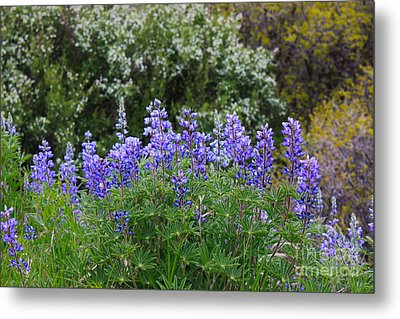 Metal Print featuring the photograph Silvery Lupine Black Canyon Colorado by Janice Rae Pariza