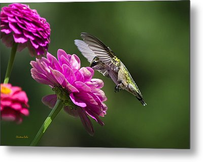 Metal Print featuring the photograph Simple Pleasure Hummingbird Delight by Christina Rollo