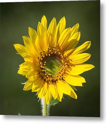 Simple Sunflower Metal Print