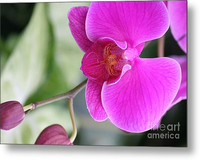 Simply Delicate Pink Orchid Metal Print by Mary Lou Chmura
