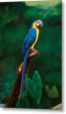 Singapore Macaw At Jurong Bird Park  Metal Print by Anonymous