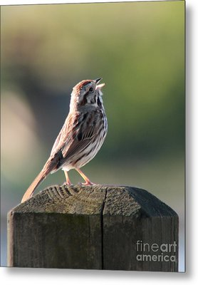 Metal Print featuring the photograph Singing Song Sparrow by Anita Oakley