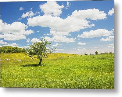 Single Apple Tree In Maine Blueberry Field Metal Print by Keith Webber Jr