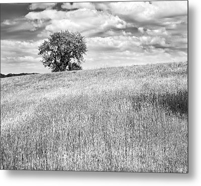 Single Apple Tree In Maine Hay Field Photograph Metal Print by Keith Webber Jr