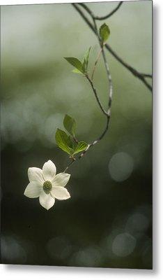 Single Dogwood Blossom Metal Print