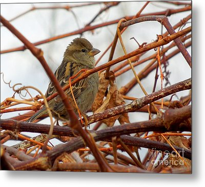 Single Sparrow Standing Metal Print by Heidi Manly