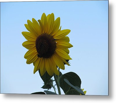 Metal Print featuring the photograph Single Sunflower And The Bees by Tina M Wenger