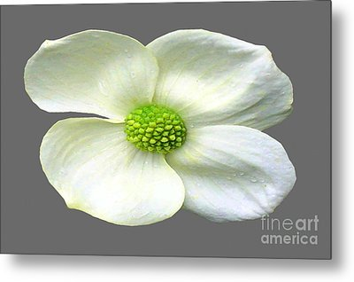 Single White Dogwood Bloom Metal Print by Tina M Wenger