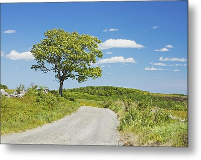 Sinlge Tree And Dirt Road  In Spring Blueberry Field Maine Metal Print
