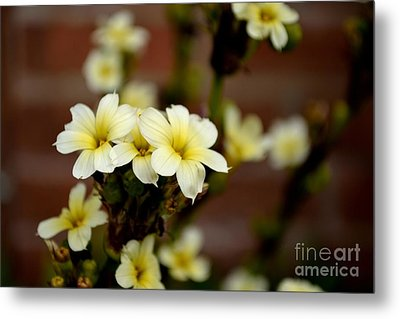 Sisyrinchium Striatum Metal Print