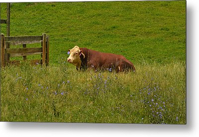 Sitting Cow Metal Print