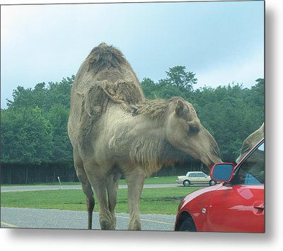 Six Flags Great Adventure - Animal Park - 121226 Metal Print by DC Photographer