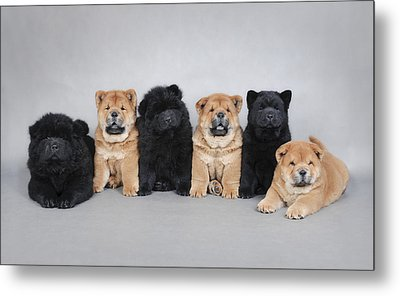 Six Little Chow Chow  Puppies Portrait Metal Print by Waldek Dabrowski