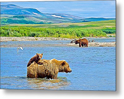 Six-month-old Cub Riding On Mom's Back To Cross Moraine River In Katmai National Preserve-alaska Metal Print by Ruth Hager