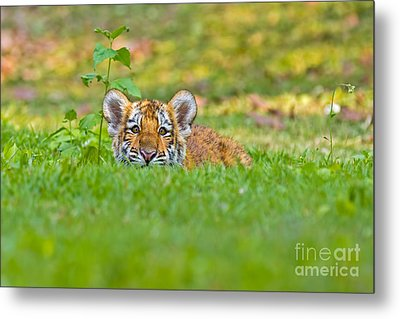 Sizing Up The Situation Metal Print by Ashley Vincent