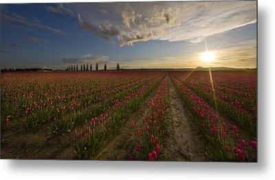 Skagit Tulip Fields Sunset Metal Print by Mike Reid