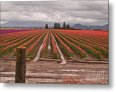 Metal Print featuring the photograph Skagit Valley Tulip Farmlands In Spring Storm Art Prints by Valerie Garner