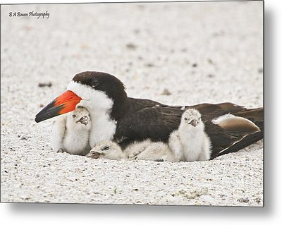 Skimmer Family Cuddle Metal Print by Barbara Bowen
