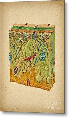 Skin Anatomy  Metal Print by Olga Hamilton