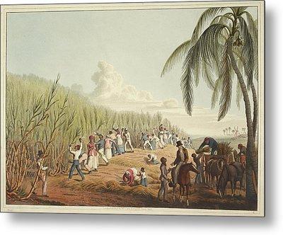 Slaves Cutting The Sugar Cane Metal Print