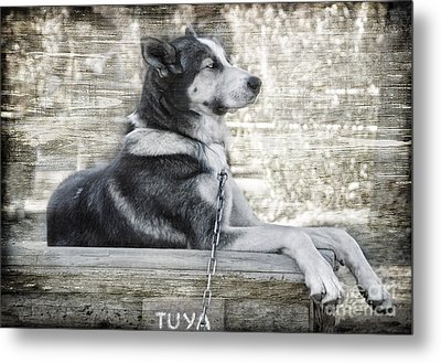 Metal Print featuring the photograph Tuya - Sled Dog Of Denali by Dyle   Warren