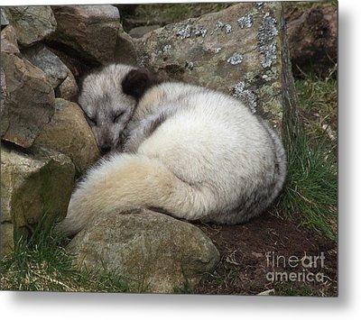 Sleeping Arctic Fox Metal Print