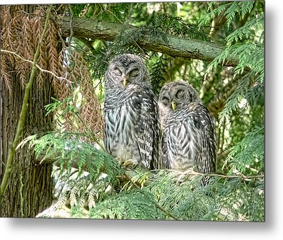 Sleeping Barred Owlets Metal Print by Jennie Marie Schell