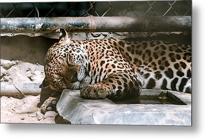 Sleeping Leopard Metal Print by Gautam Gupta