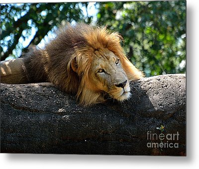 Metal Print featuring the photograph Thinking Lion by Lisa L Silva