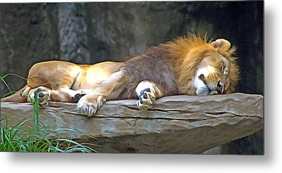 Sleeping Lion Metal Print by Marion Johnson