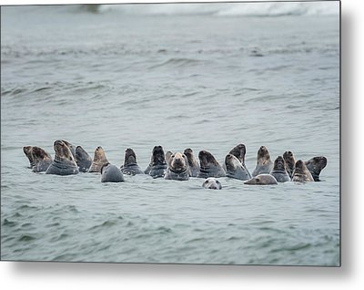 Sleeping Seals Metal Print by Bill Wakeley
