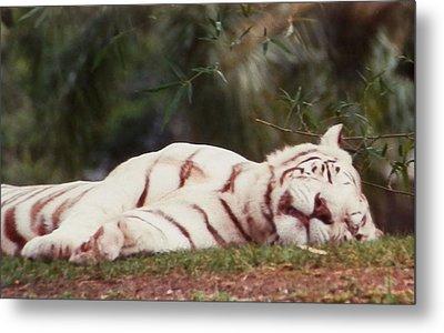 Sleeping White Snow Tiger Metal Print