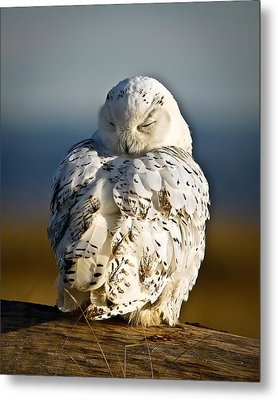 Sleeping Snowy Owl Metal Print
